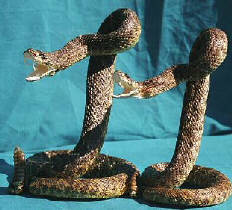 Large Rattlesnake in striking position. Click to order.