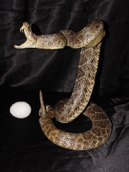 Very large ratlesnake for sale.  Click to order.